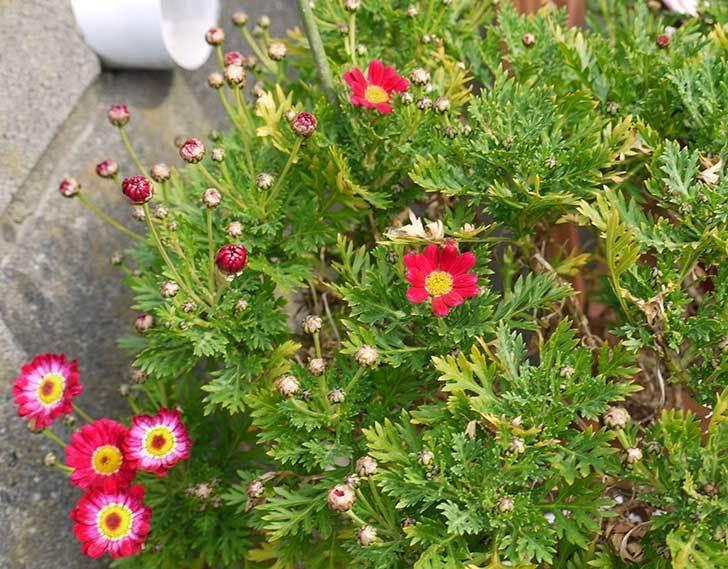 赤いマーガレットが咲きはじめた。2015年-2.jpg