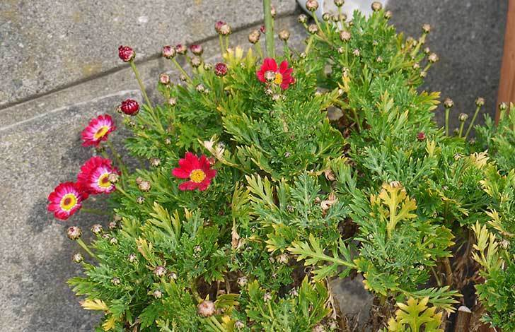 赤いマーガレットが咲きはじめた。2015年-3.jpg
