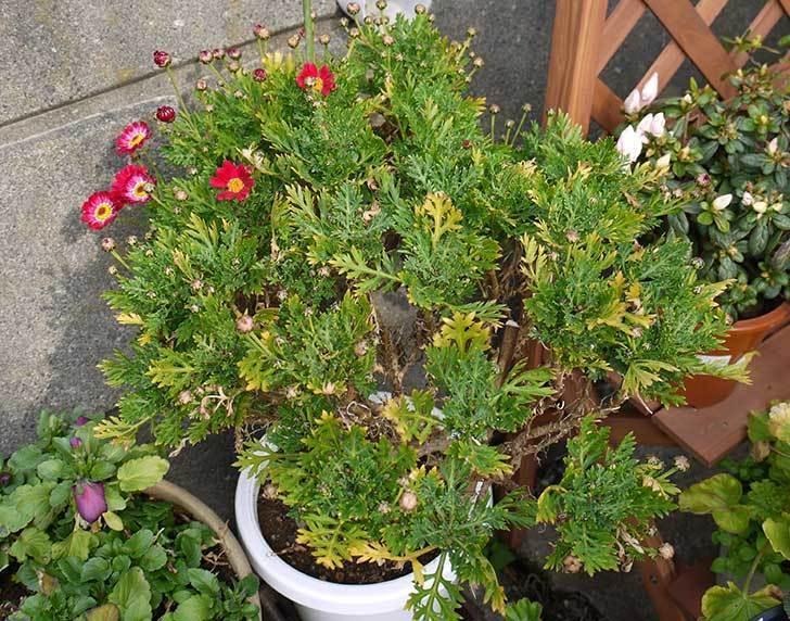 赤いマーガレットが咲きはじめた。2015年-4.jpg
