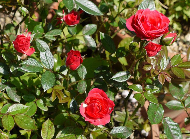 赤いミニバラが咲いた1.jpg