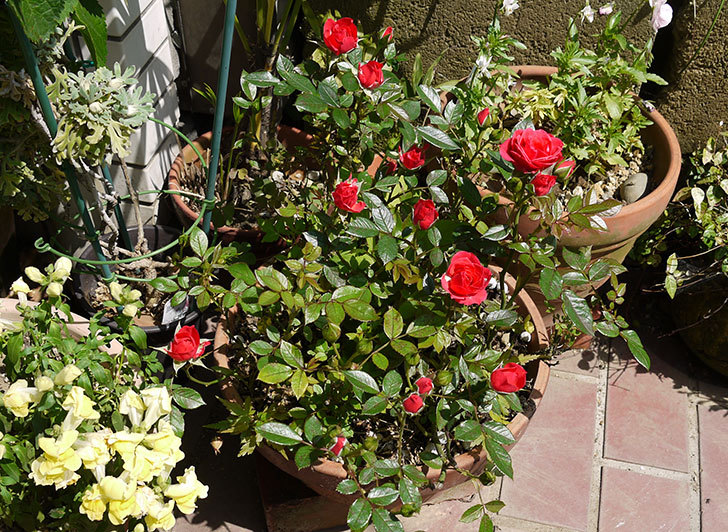 赤いミニバラが咲いた2.jpg