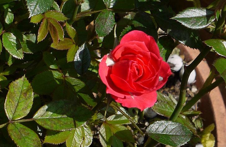 赤いミニバラが咲いた3.jpg
