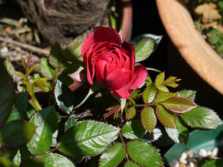 赤いミニバラが咲いた。2016年-1.jpg