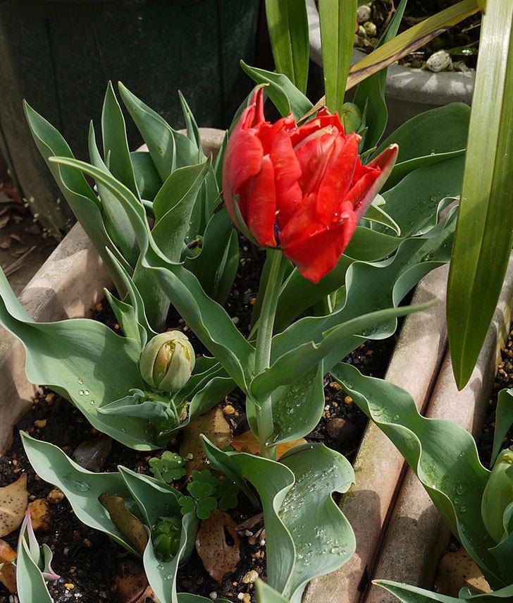 赤い八重咲きのチューリップが咲いた。2016年-4.jpg
