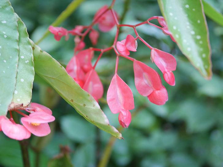 赤い木立ベゴニアの花が咲いた。2020年-001.jpg