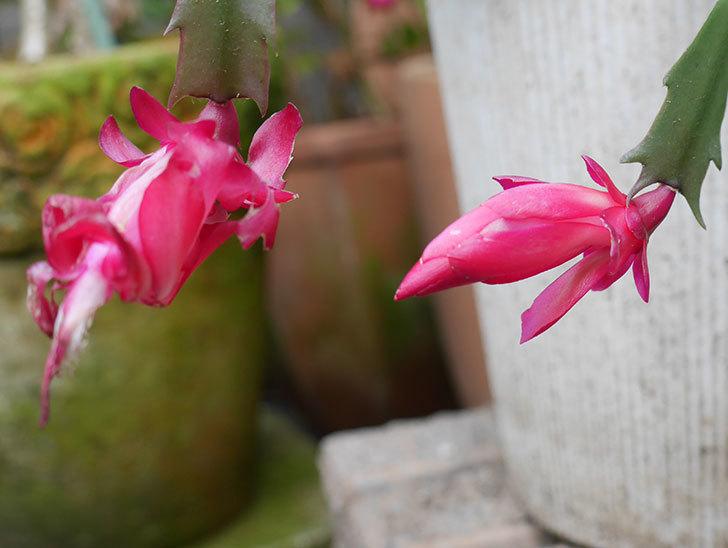 赤のシャコバサボテン(蝦蛄葉サボテン)が咲いた。2018年-2.jpg