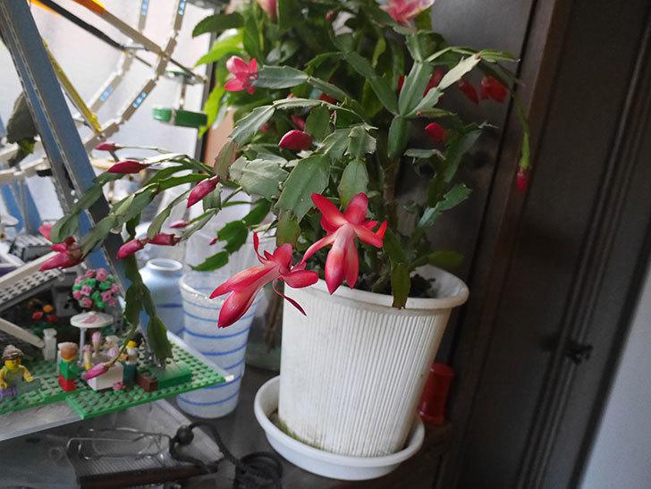 赤のシャコバサボテン(蝦蛄葉サボテン)が咲いた。2019年-2.jpg