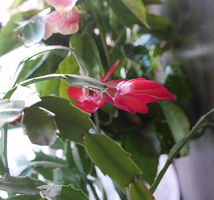 赤のシャコバサボテン(蝦蛄葉サボテン)が咲いた。2019年-5.jpg