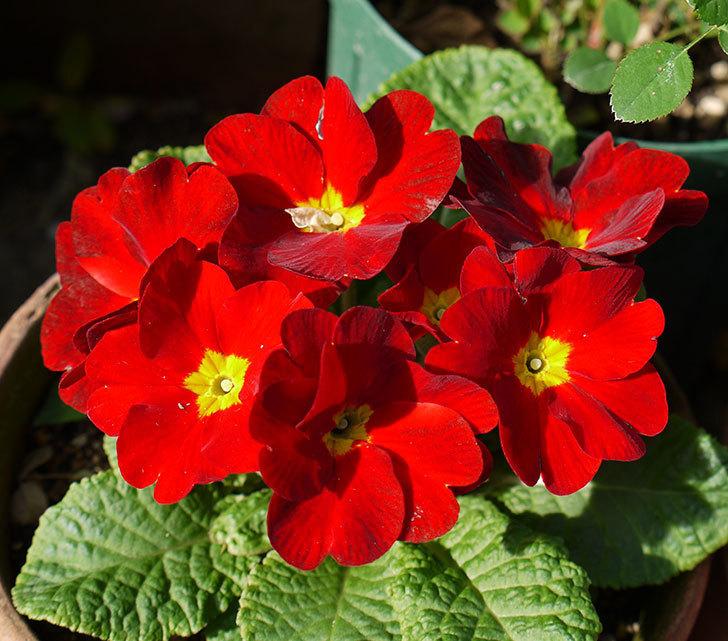 赤のプリムラ・ジュリアンが花が増えてきた。2016年-1.jpg