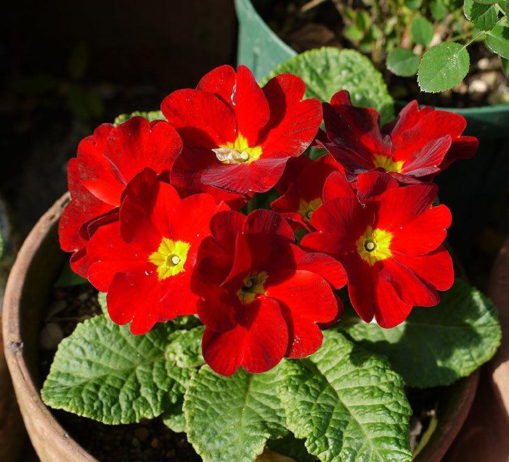 赤のプリムラ・ジュリアンが花が増えてきた。2016年-2.jpg