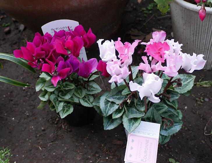 赤紫と白ピンクのガーデンシクラメンの苗をホームズで買って来た。2018年-1.jpg
