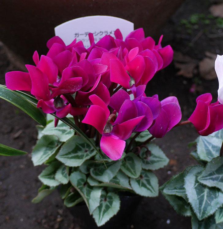 赤紫と白ピンクのガーデンシクラメンの苗をホームズで買って来た。2018年-2.jpg