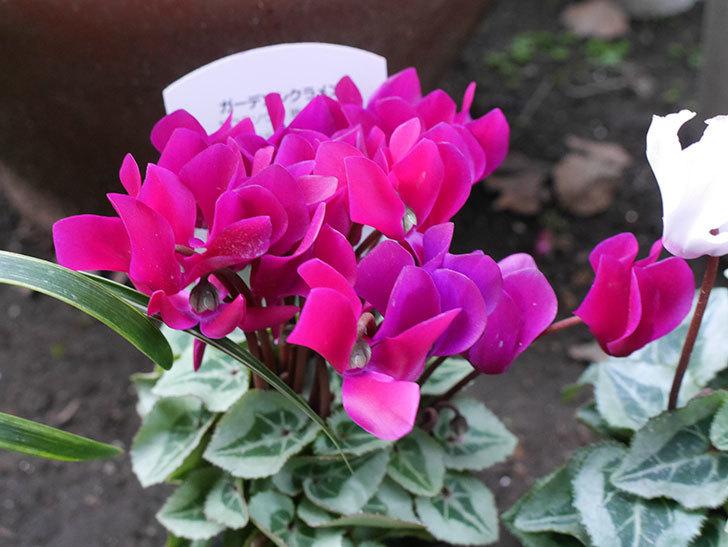 赤紫と白ピンクのガーデンシクラメンの苗をホームズで買って来た。2018年-3.jpg