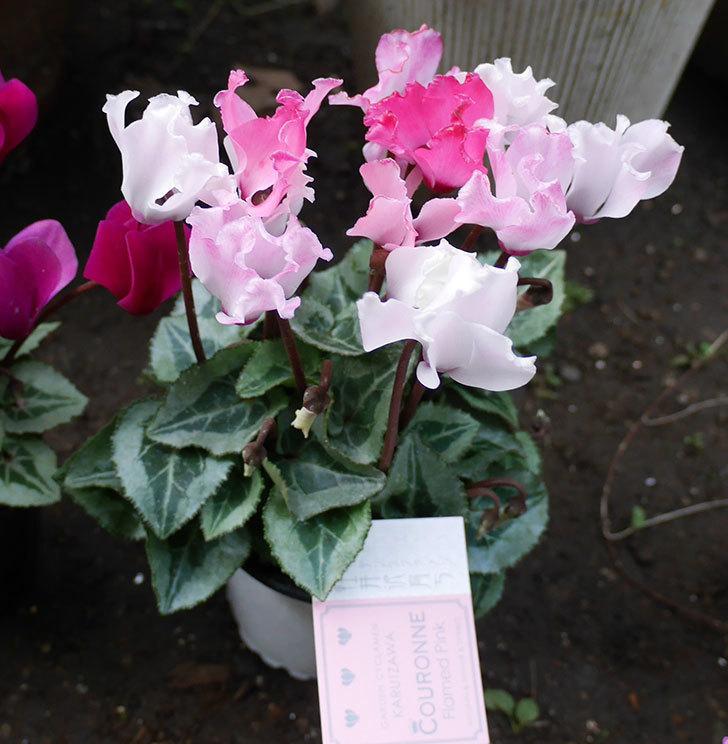 赤紫と白ピンクのガーデンシクラメンの苗をホームズで買って来た。2018年-4.jpg