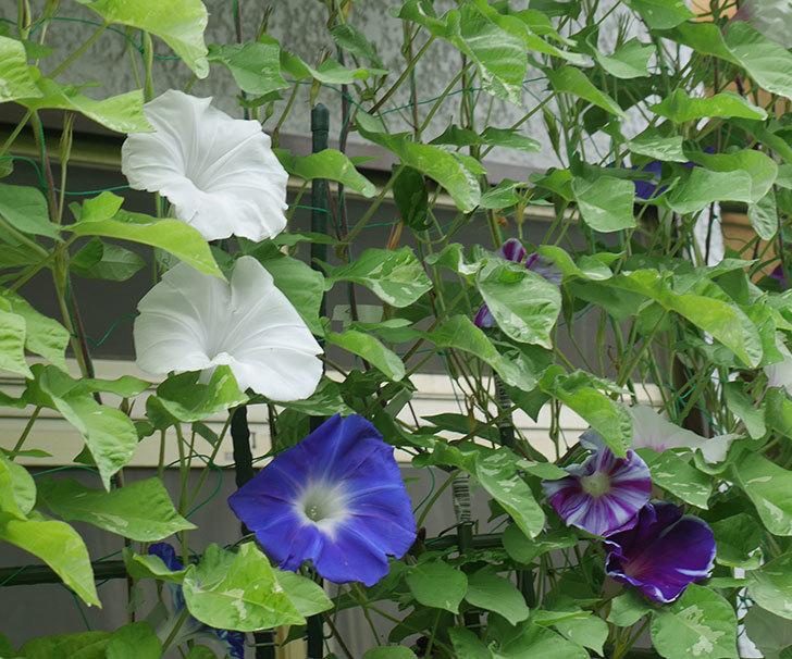 車絞の青いアサガオの花が綺麗に咲いた。2018年-15.jpg