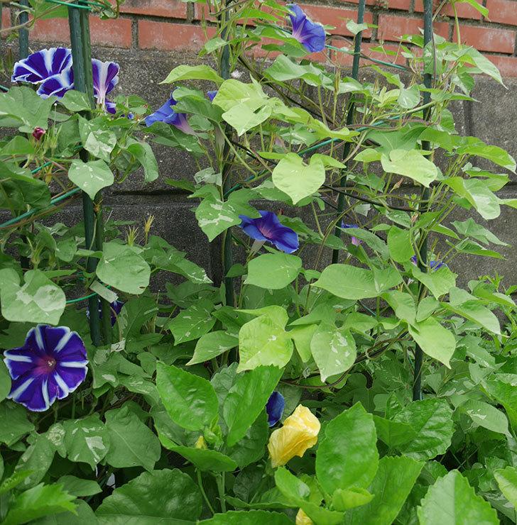 車絞の青いアサガオの花が綺麗に咲いた。2018年-5.jpg