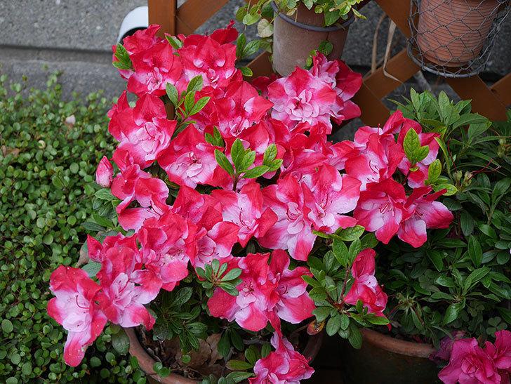 遅咲きのアザレアがたくさん咲いた。2019年-1.jpg