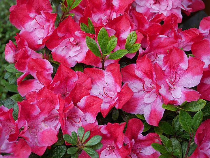 遅咲きのアザレアがたくさん咲いた。2019年-2.jpg