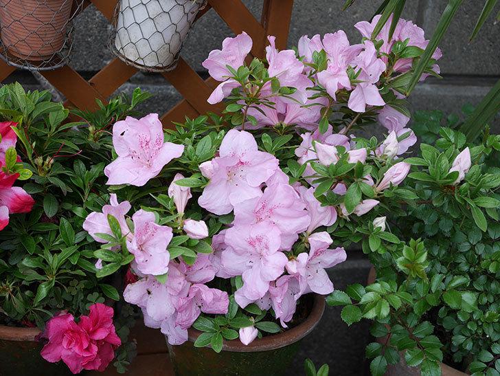 遅咲きのアザレアがたくさん咲いた。2019年-4.jpg