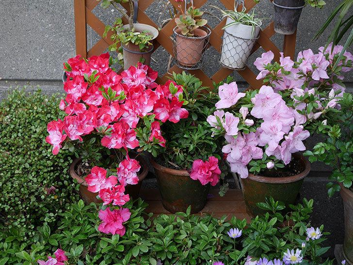 遅咲きのアザレアがたくさん咲いた。2019年-6.jpg