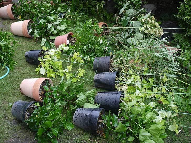 鉢が多くて強風対策がめんどくさい1.jpg