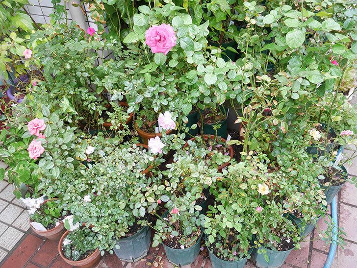 鉢バラに殺ダニ剤(ダニメツフロアブル)を撒いた。2018-10.jpg