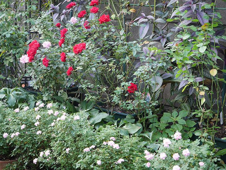 鉢バラを中心に殺ダニ剤(ダニトロンフロアブル)を撒いた。2020-9-1.jpg