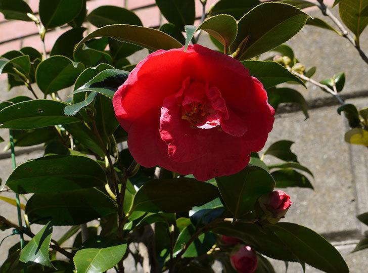 鉢植えしている大輪ツバキの花がまた咲いた。2016年-1.jpg