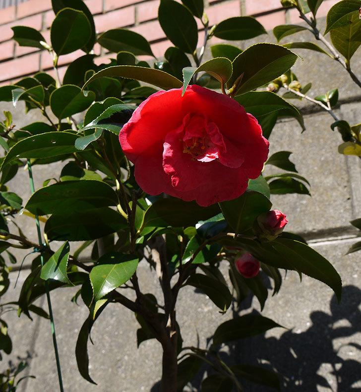 鉢植えしている大輪ツバキの花がまた咲いた。2016年-3.jpg