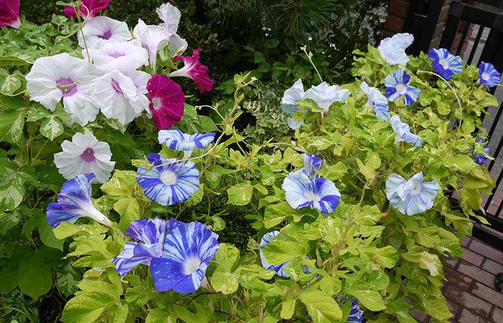 鉢植えのアサガオの花がたくさん咲く。2015年-3.jpg
