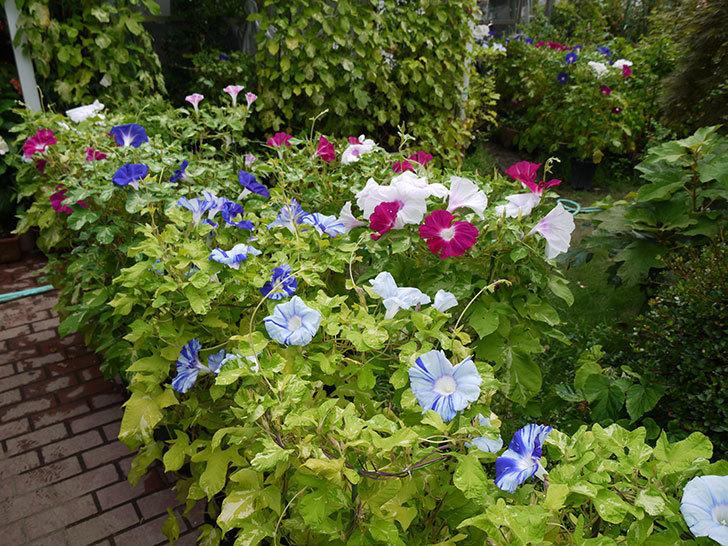 鉢植えのアサガオの花がたくさん咲く。2015年-6.jpg