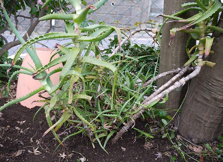 鉢植えのアロエを地植えした。2016年-10.jpg