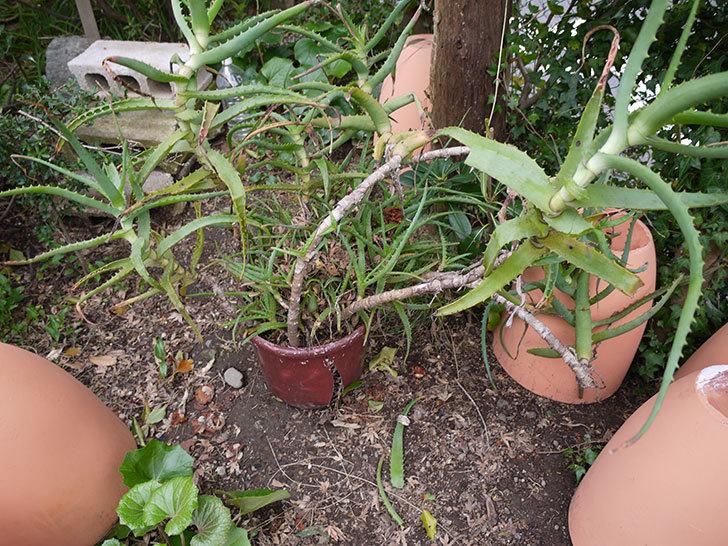鉢植えのアロエを地植えした。2016年-2.jpg