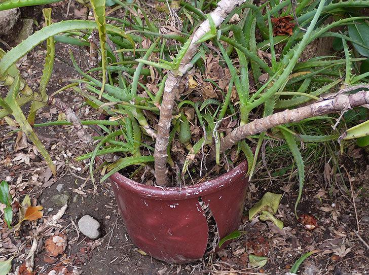 鉢植えのアロエを地植えした。2016年-3.jpg