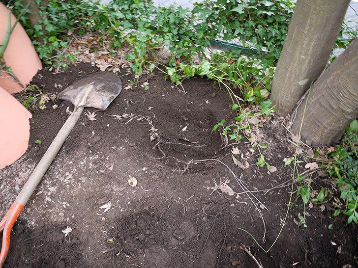 鉢植えのアロエを地植えした。2016年-5.jpg