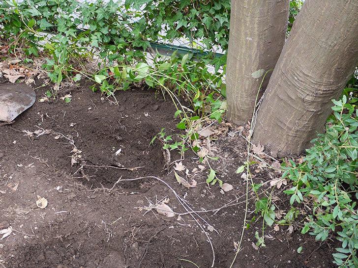 鉢植えのアロエを地植えした。2016年-6.jpg
