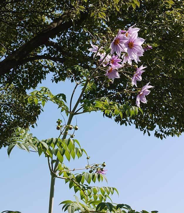 鉢植えのコウテイダリアが咲いた。2015年-7.jpg