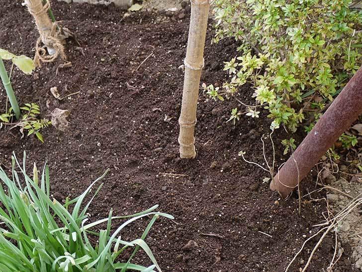 鉢植えのコウテイダリアを地植えした。2015年-7.jpg