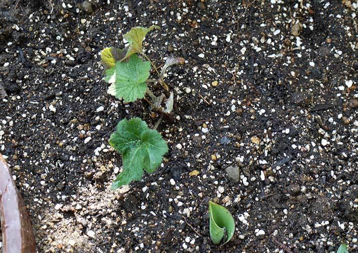 鉢植えのシュウメイギクを地植えした。2016年-10.jpg