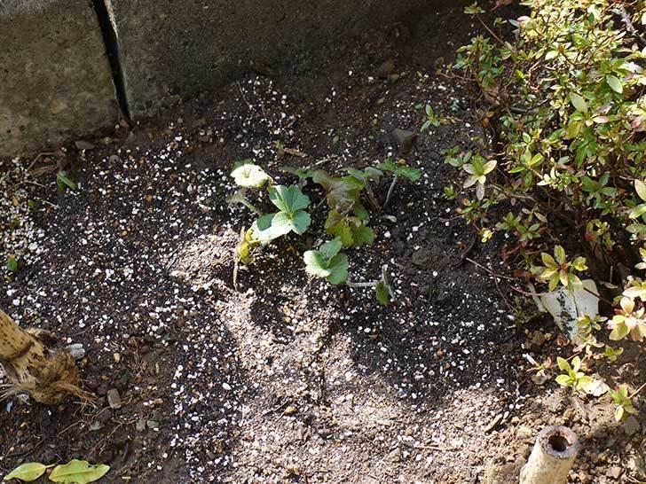 鉢植えのシュウメイギクを地植えした。2016年-11.jpg