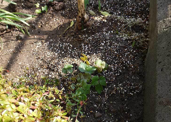 鉢植えのシュウメイギクを地植えした。2016年-4.jpg