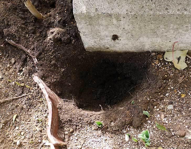 鉢植えのシュウメイギクを地植えした。2016年-6.jpg