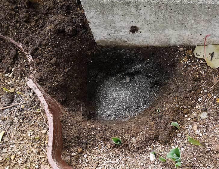 鉢植えのシュウメイギクを地植えした。2016年-9.jpg