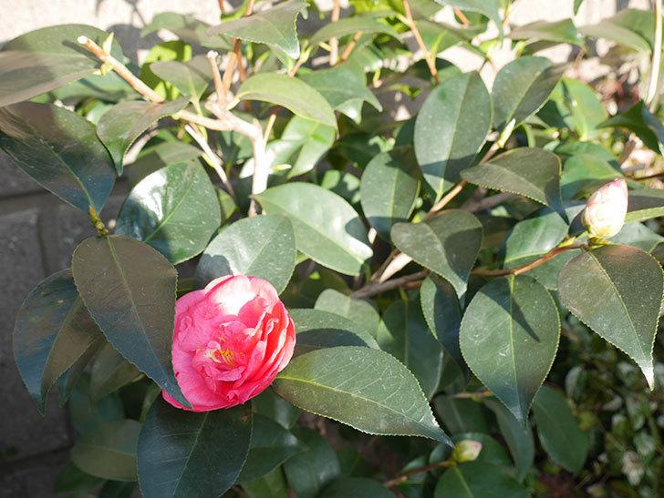 鉢植えのツバキに2個目の花が咲いた。2020年-3.jpg
