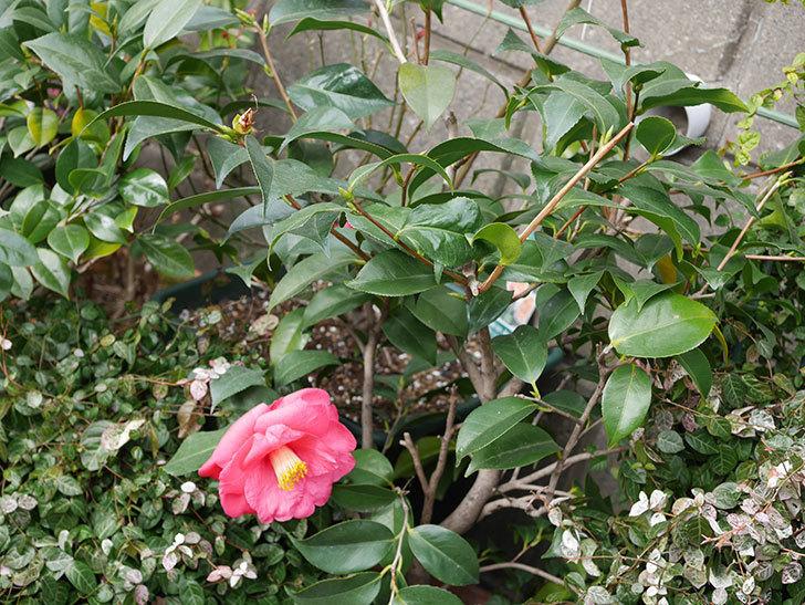 鉢植えのツバキに3個目の花が咲いた。2020年-3.jpg