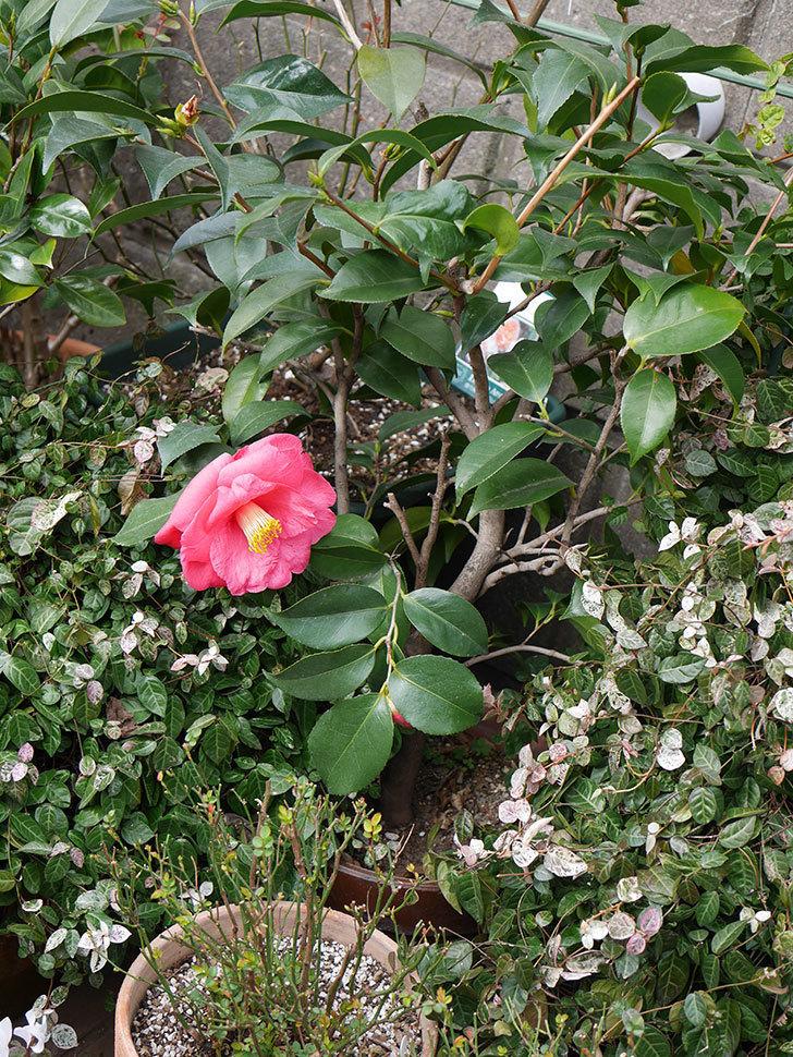 鉢植えのツバキに3個目の花が咲いた。2020年-4.jpg