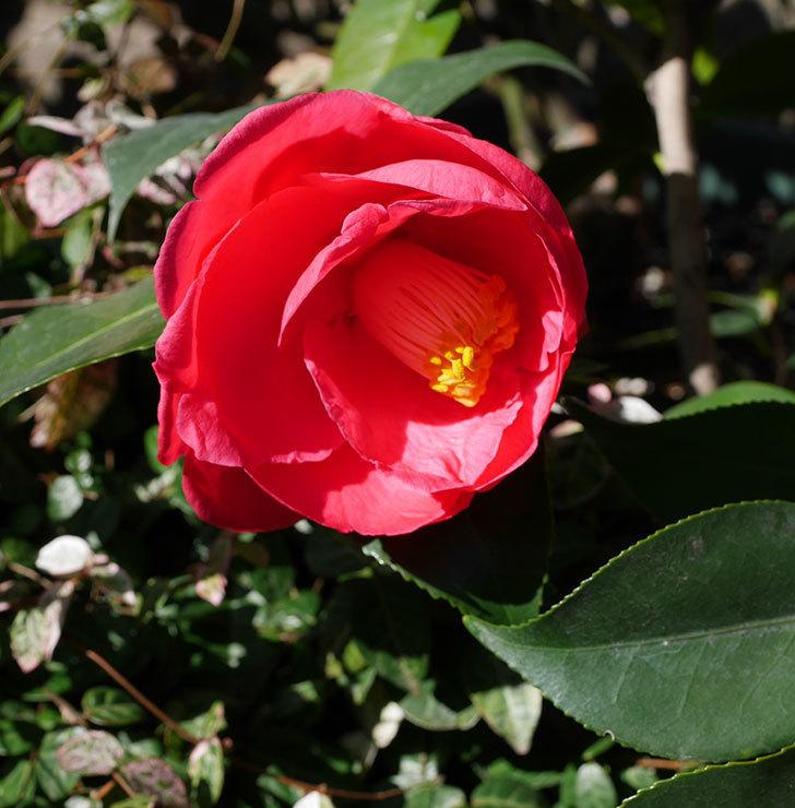 鉢植えのツバキに3個目の花が咲いた。2020年-5.jpg