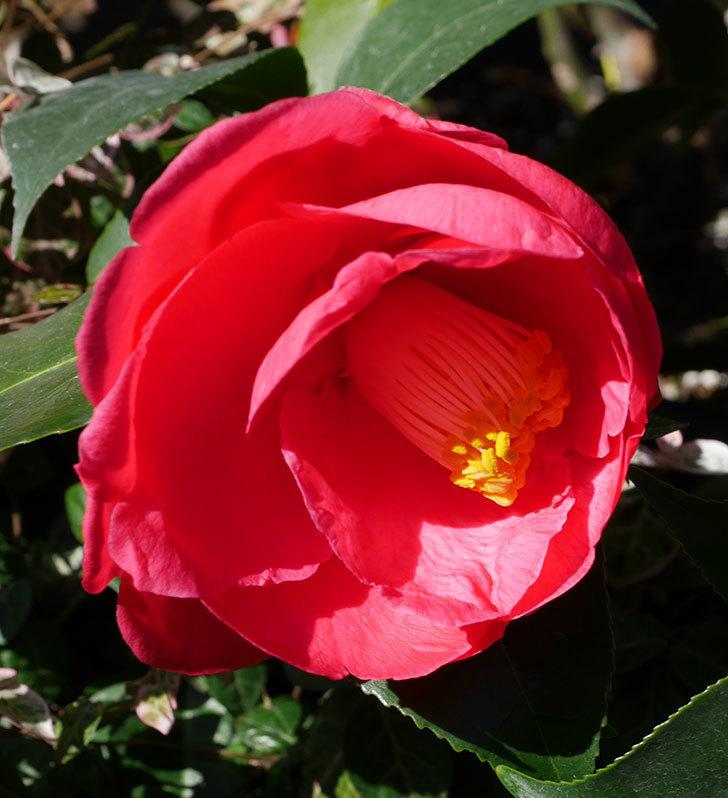 鉢植えのツバキに3個目の花が咲いた。2020年-6.jpg