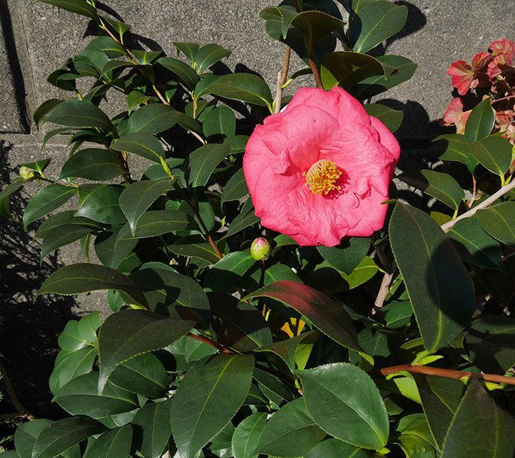 鉢植えのツバキに大輪の花が1個咲いた。2018年-3.jpg