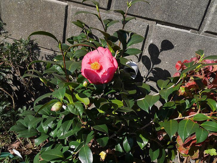 鉢植えのツバキに大輪の花が1個咲いた。2018年-4.jpg